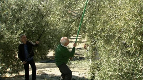 men picking olives in Spain