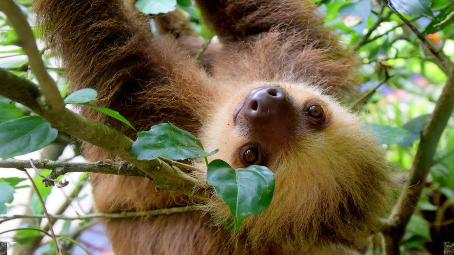 Rain forest Sloth on Student trip to Costa Rica, WorldStrides Eco-Adventures