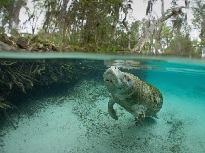Snorkel with Manatees at Crystal River Florida Habitat H2O
