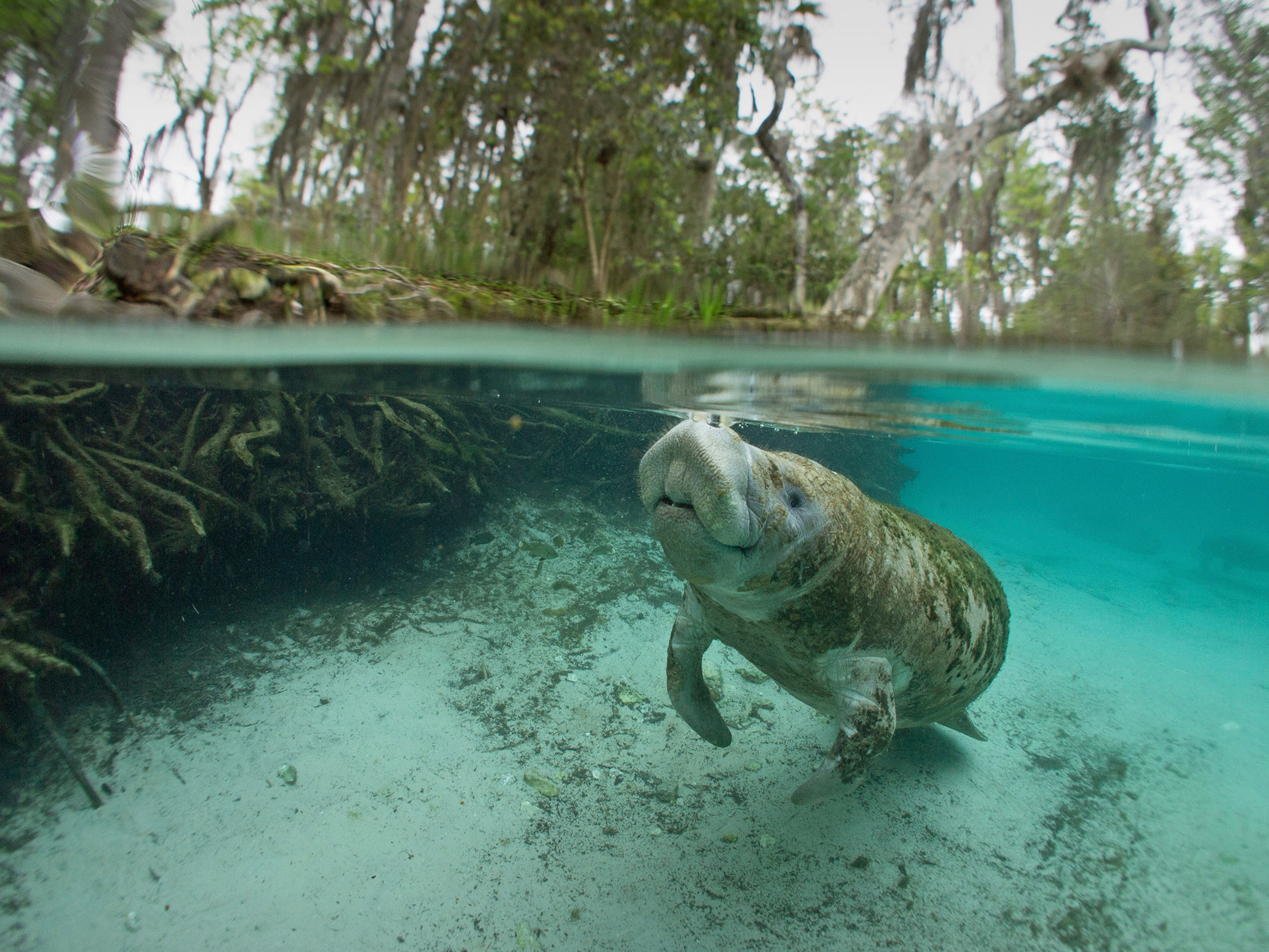 Snorkel with Manatees at Crystal River Florida Habitat H2O
