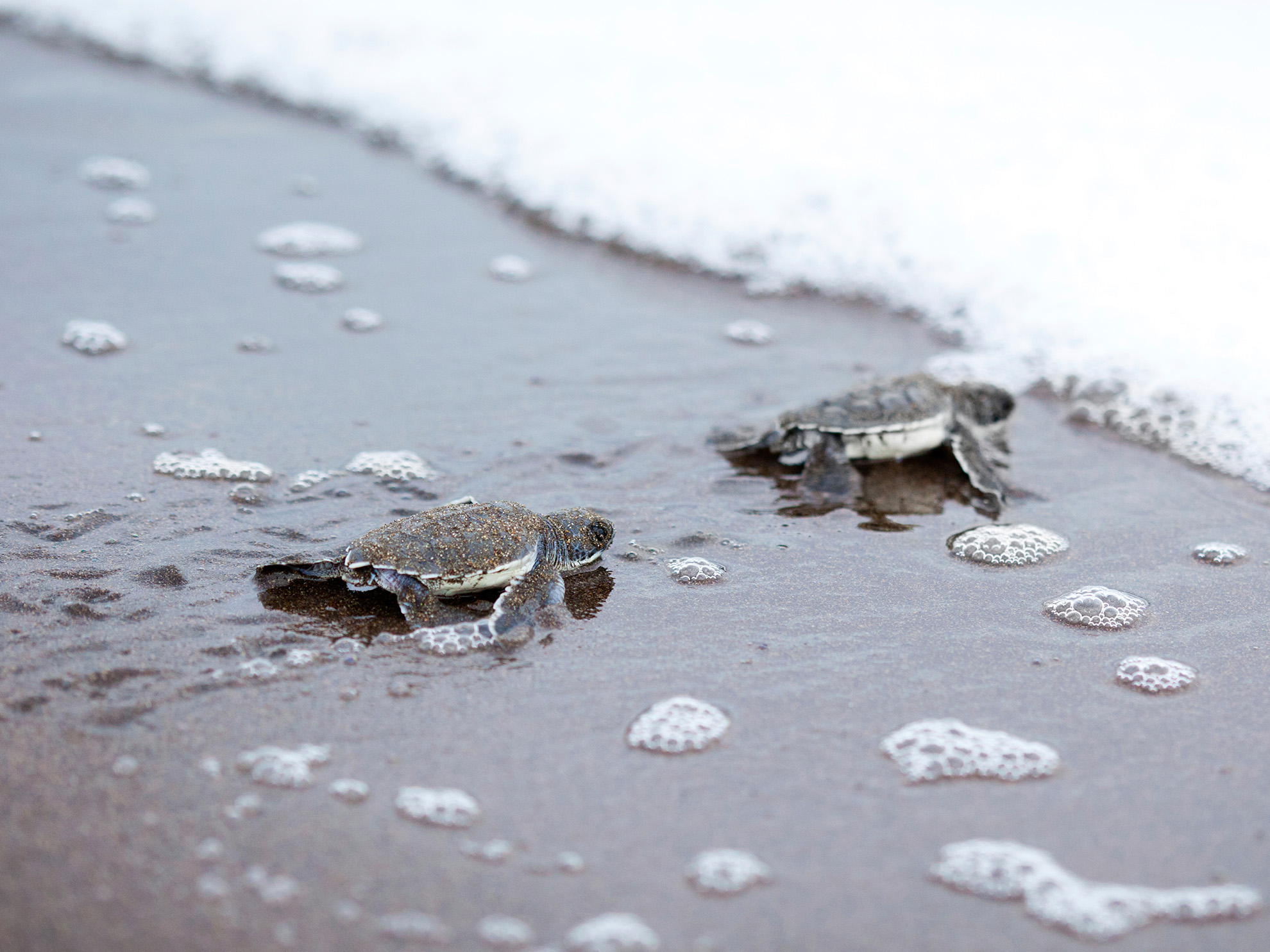 Baby Turtles - Tortuguero National Park, Costa Rica