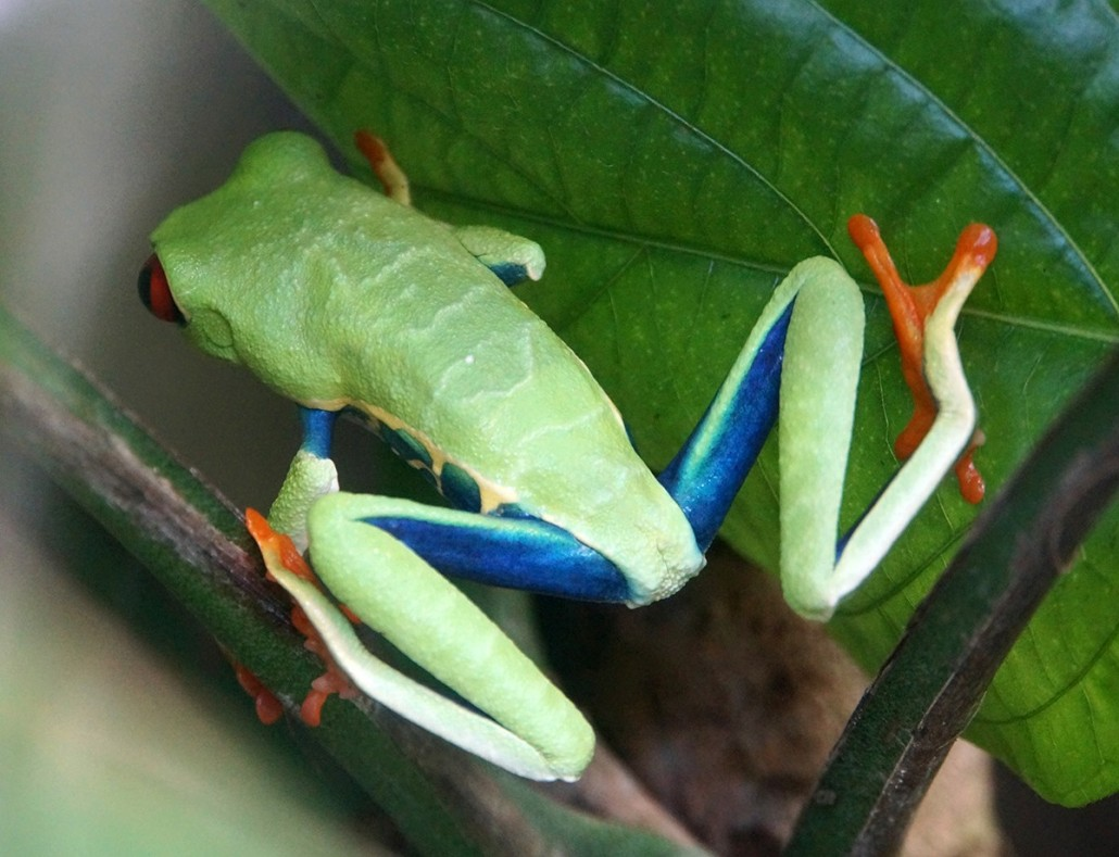 Red-Eyed Tree Frog at Monteverde Frog Pond - Guanacaste, Costa Rica