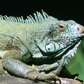 kamikaze iguanas