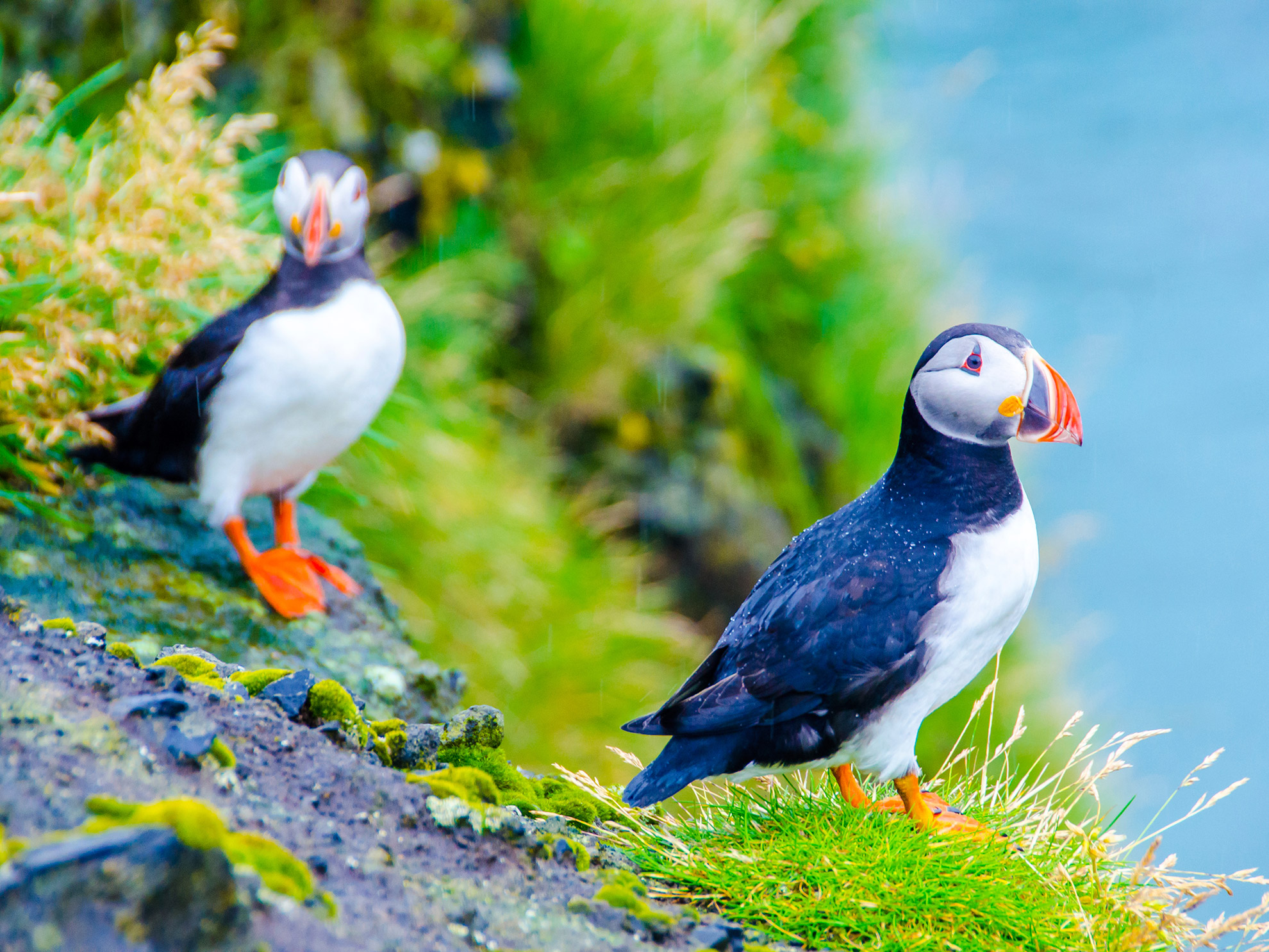 Dyrholaey Nature Reserve Puffins Iceland