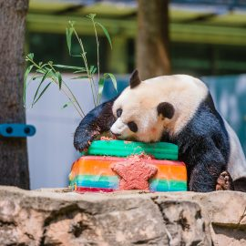 Panda at the National Zoo enjoying cake