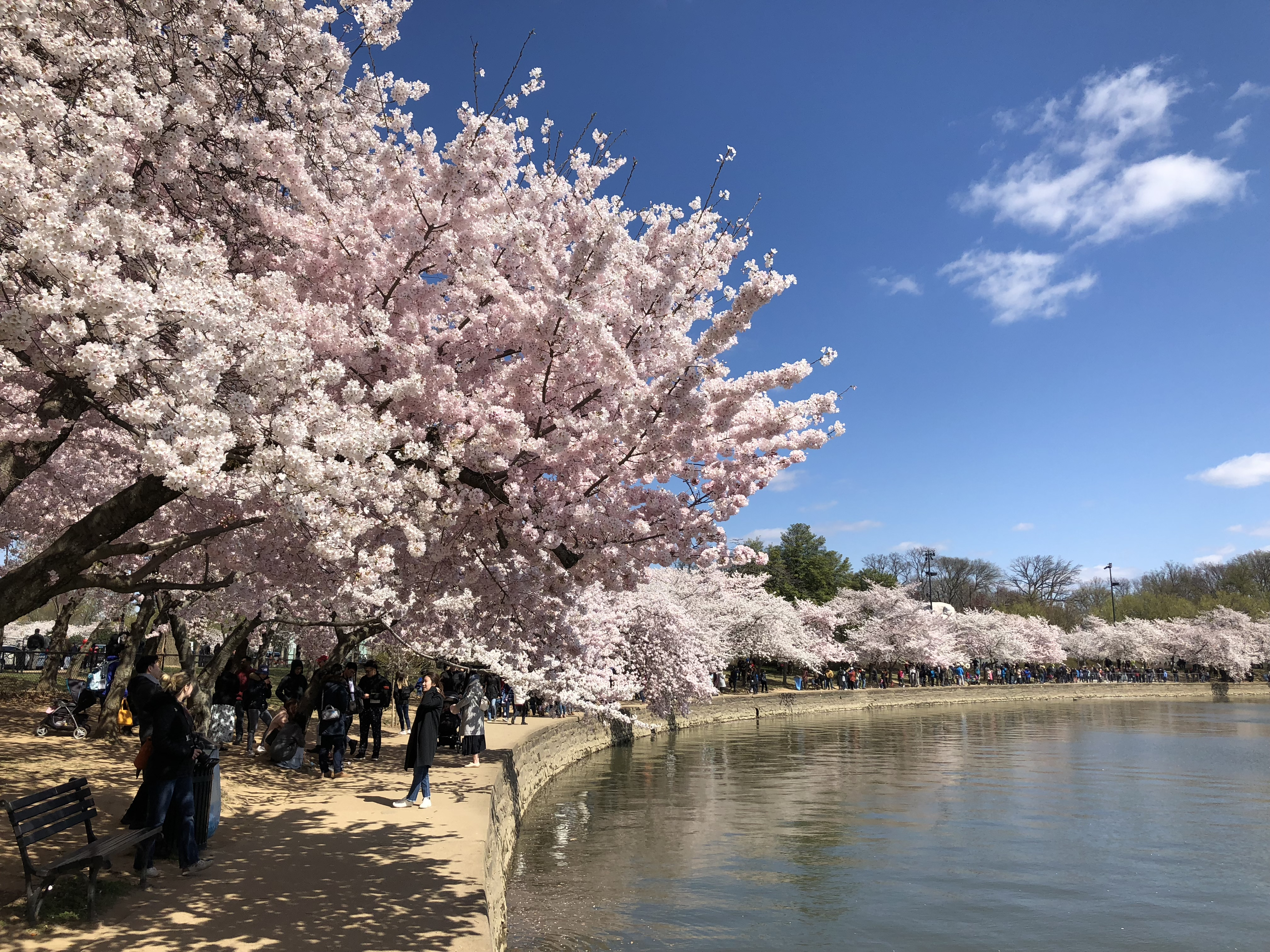 History Of The National Cherry Blossom Festival In Washington